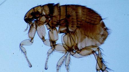 flea - Дезінсекція